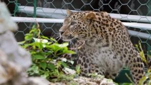 В Сочи весной стартует видеотрансляция проекта по разведению леопарда