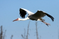 Ученые-орнитологи меняют миграционные пути белых журавлей