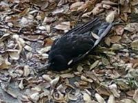На Швецию обрушился «дождь» мертвых птиц