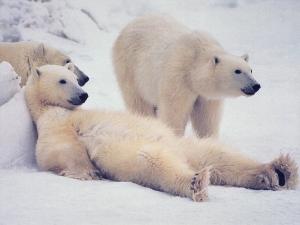 Администрация президента США встает на защиту белых медведей и создает спецзону на Аляске для их обитания