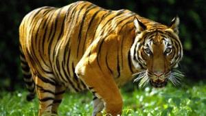 Малайзия планирует удвоить популяцию малайских тигров к 2022 году