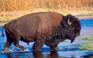 Партия бизонов из канадского заповедника «Элк-Айленд» готовится к отправке в Якутию